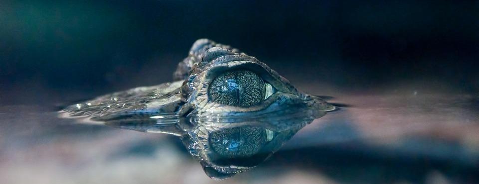 Auge eines Krokodils