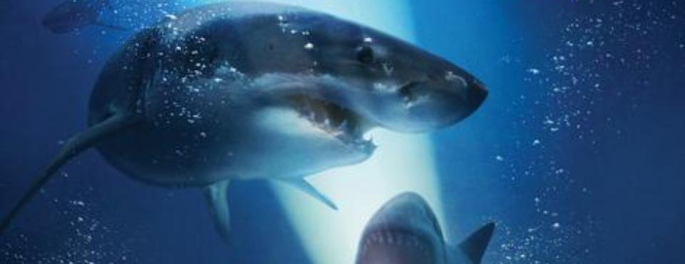 Ein weißer Hai der den Betrachter ansieht. Im Hintergrund ein weiterer Hai mit aufgerissenen Mund.