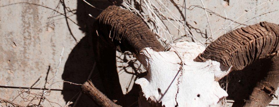 Knochenschädel eines Widders hängt an einer Wand in einer heißen Gegend.