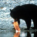 Ein Schwarzbär fängt einen Lachs